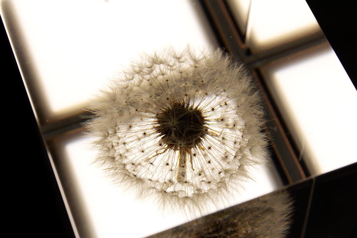 長時間寿命の有機LEを使った照明・アクリルオブジェ | OLED TAMPOPO LIGHT by TAKAO INOUE