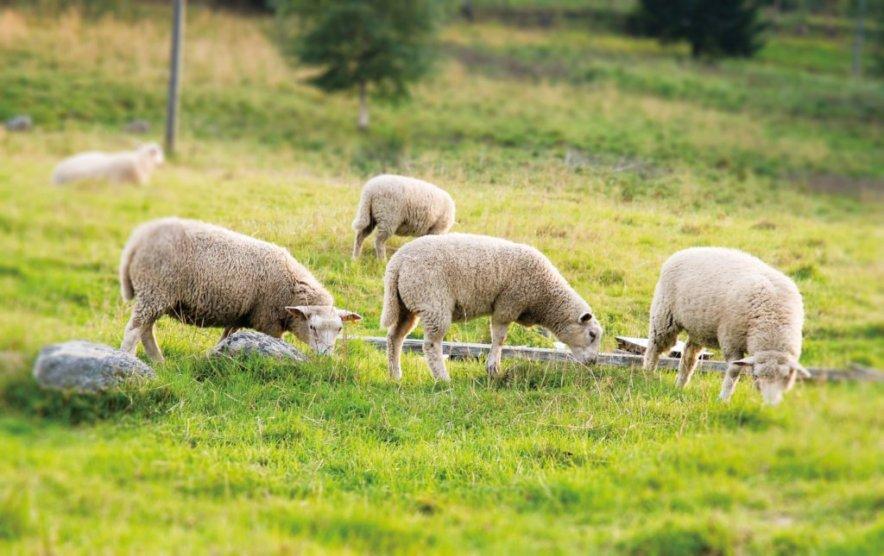 北アメリカ・ロッキーマウンテンの麓、自社管理で飼育した羊から採取した「メリノウールのみを使用」。夏は涼しく冬は暖かいメリノウールを使用した、血液やリンパの流れをサポートする着圧ソックス(健康ソックス・靴下)|Sockwell(ソックウェル)