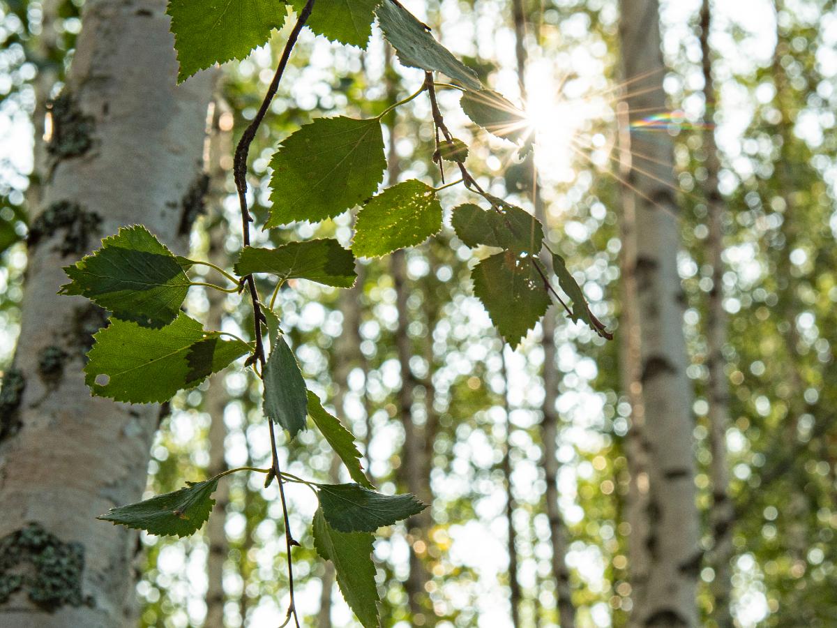 白樺の香りは、幸せの象徴|バスルームがフィンランドの森になる、「白樺の若葉」と「森の土」の香りのボディーソープ|OSMIA(オスミア)