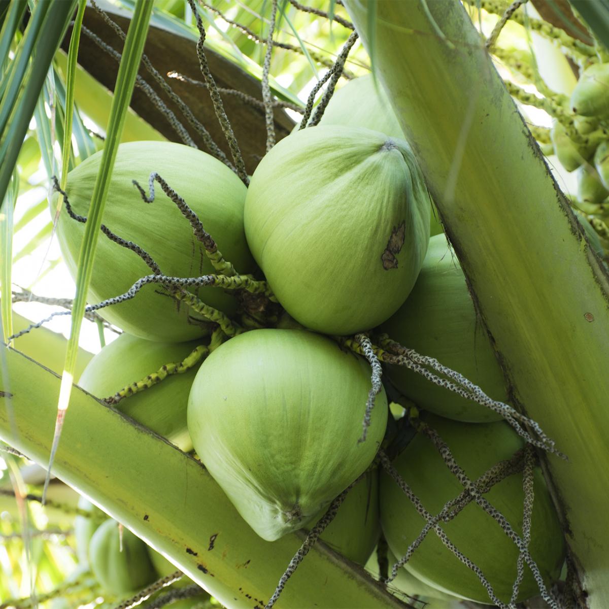 サスティナブル(持続可能)なフィリピンの農園で、無農薬栽培しているココナッツを使用した脂肪をエネルギーに素早く変えるオーガニックのMCTオイル|MELROSE KICKSTART(メルローズ キックスタート)