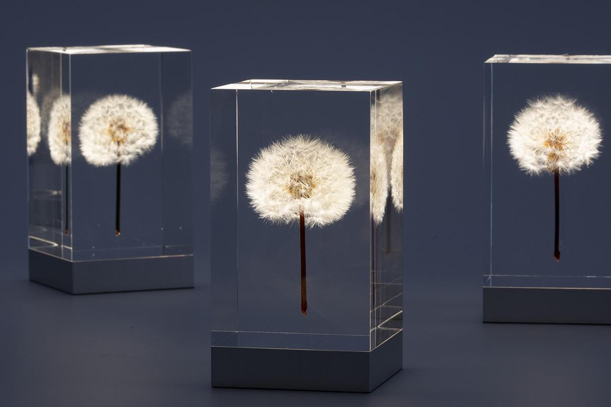 ひとつひとつの表情の違いが楽しめる、生花のたんぽぽを閉じ込めたアクリルオブジェ | OLED TAMPOPO LIGHT by TAKAO INOUE