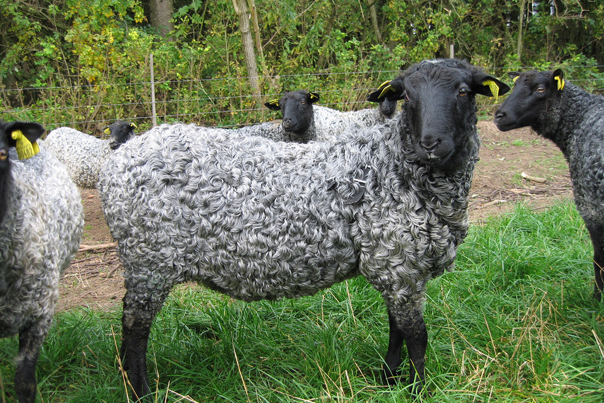 そのゴットランド島だけに住んでいる「ゴットランドシープ」は、全世界で飼われている羊のうち、たった0.007%しかいない「幻の羊」。膝掛け(ひざかけ)|デンマーク王室御用達のSilkeborg(シルケボー)