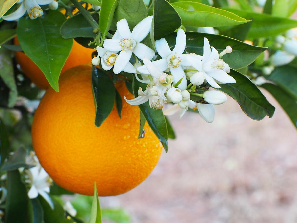 「幸福」「繁栄」「幸運」をもたらすと言われる「オレンジブロッサム」の香りルームスプレー・ルームパフューム|タイ王室御用達のアロマブランド『KARMAKAMET(カルマカメット)』