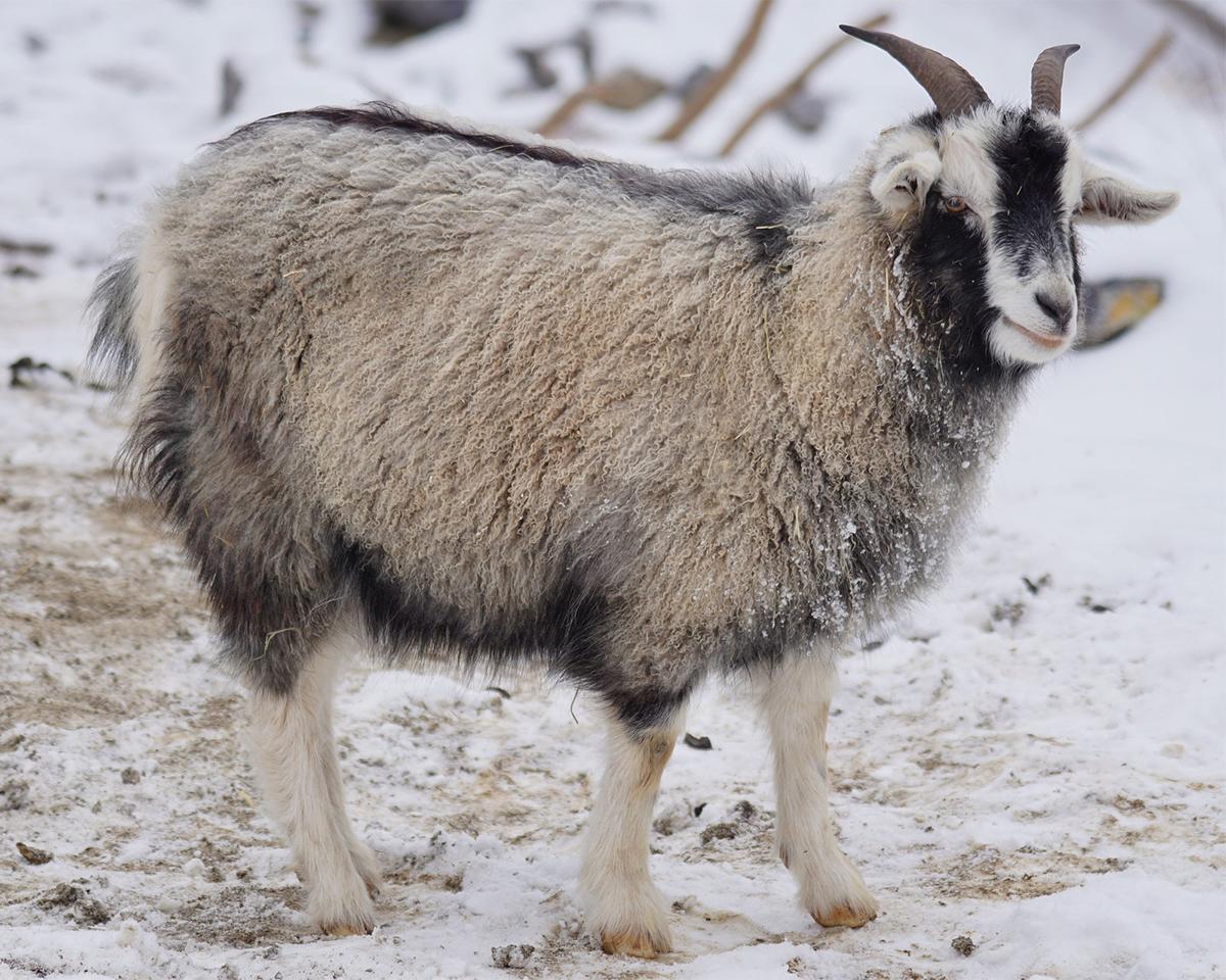 厳しい寒暖の差がある内モンゴル地域で育った、細く長い、繊細な毛をもつカシミヤヤギ。上質なカシミアニット|SANYO(三陽商会)