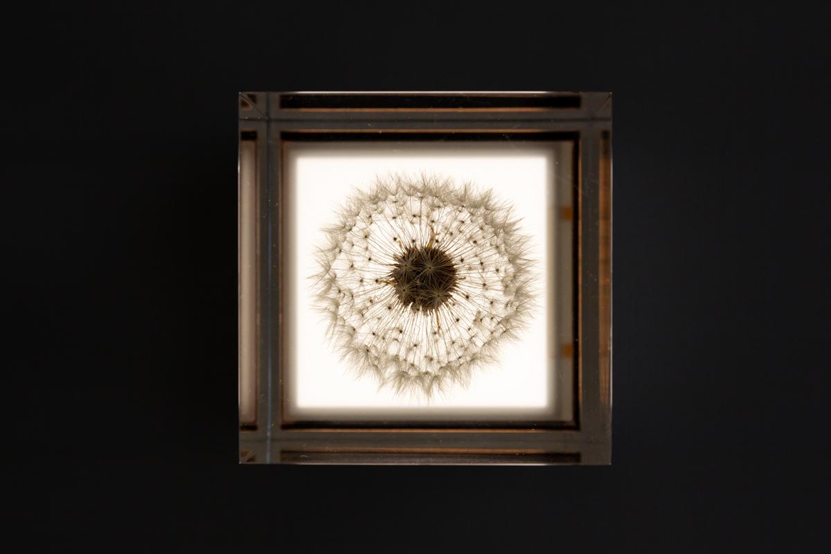 たんぽぽをより温かく、より自然に演出する有機ELを搭載した照明・アクリルオブジェ | OLED TAMPOPO LIGHT by TAKAO INOUE