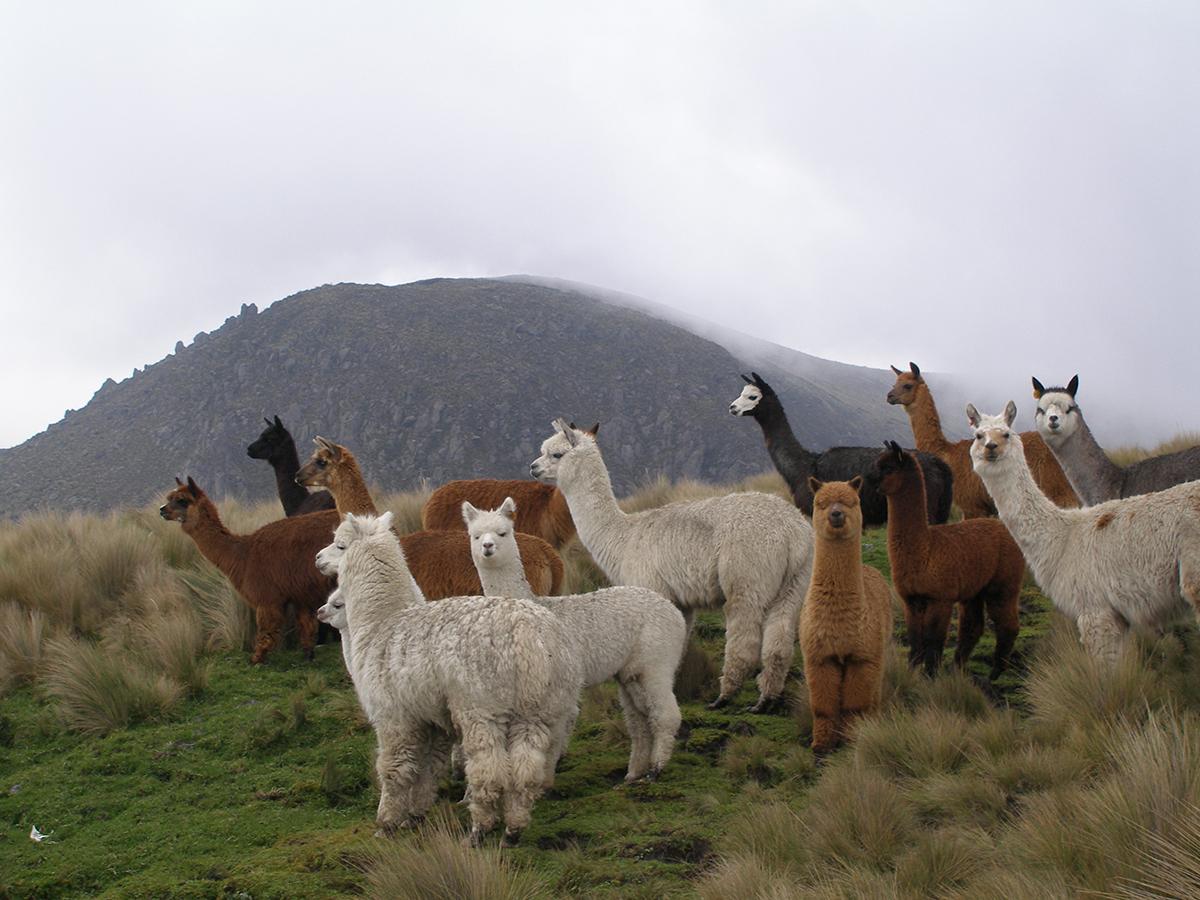 ペルー・アンデス山脈の4000m以上の高地に住んでいるベビーアルパカのうぶ毛だけで編んだ、あったかレギンス|ロイヤルベビーアルパカ